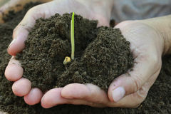 Corn seedlings hand full of soil Royalty Free Stock Photos