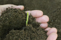 Corn seedlings hand full of soil Royalty Free Stock Photo