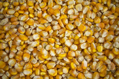 Corn seeds  background. Stock Image