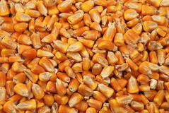 Corn seeds close up as background Royalty Free Stock Images