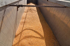 Corn seeds crop unloaded in the truck Royalty Free Stock Photos