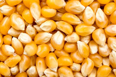 Corn Seeds Details Stock Image
