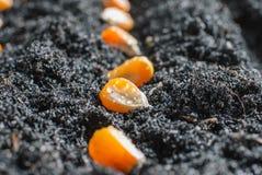 Corn seeds in fertile soil. Planting green corn seeds in fertile soil stock photography