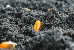 Corn seeds in fertile soil. Planting green corn seeds in fertile soil royalty free stock photography
