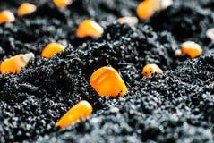 Corn seeds in fertile soil. Planting green corn seeds in fertile soil stock photos