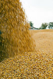 Corn seeds, harvest Stock Images