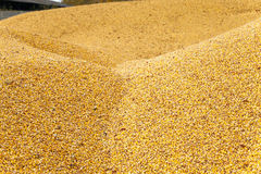 Corn seeds ,harvest Stock Photography