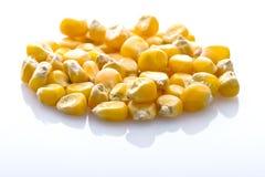 Corn seeds isolated on white shiny background Royalty Free Stock Images