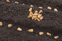 Corn seeds planted Stock Photos