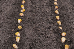 Corn seeds planted Royalty Free Stock Photography