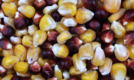Corn Seeds Stock Images
