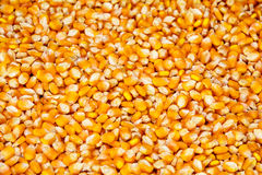 Corn seeds Royalty Free Stock Images