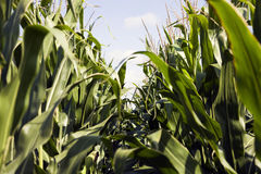 Corn seen from the ground Royalty Free Stock Image