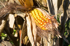 Corn in September Stock Photography