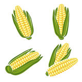 Corn set. Vector. Natural, plant, agriculture Stock Photo