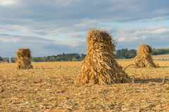 Corn Shocks in Farm Field. Corn Shocks or stacks in Farm Field during harvest in Lancaster County, Pennsylvania Royalty Free Stock Photo
