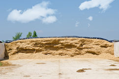 Corn silage for maize Stock Photo