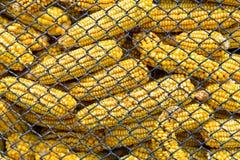 Corn in silo. Corn crop stashed in silo Stock Image