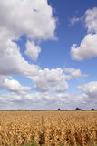 Corn And Skies. Ripe Corn At Harvest Time Royalty Free Stock Images