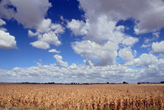 Corn And Skies. Ripe Corn At Harvest Time Stock Image