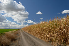 Corn And Skies Stock Photography