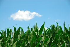 Corn and Sky Stock Photo