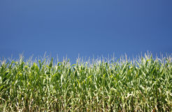 Corn and sky Royalty Free Stock Photo