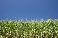 Corn and sky Royalty Free Stock Photo