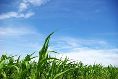 Corn on  sky Royalty Free Stock Images