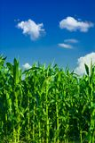 Corn and sky Royalty Free Stock Photos