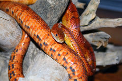 Corn snake. The corn snake (Elaphe guttata), or red rat snake, is a North American species of rat snake that subdue their small prey with constriction. The name Stock Image