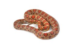 Corn Snake. Isolated on a white background Stock Photos