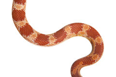 Corn Snake. A corn Snake forming a curvy snake at it slithers Royalty Free Stock Photos