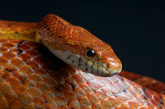 Corn snake. The corn snake ? Pantherophis guttatus is one of the most common snakes available in captivity today Royalty Free Stock Photo