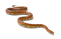 Corn snake. Shot of a corn snake  on a white background Royalty Free Stock Photography