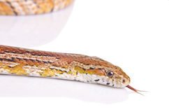 Corn snake. Against white background Royalty Free Stock Photography