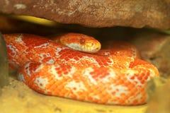 Free Corn Snake Royalty Free Stock Photography - 26802167