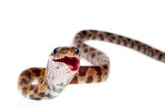 Free Corn Snake Royalty Free Stock Photography - 27168557