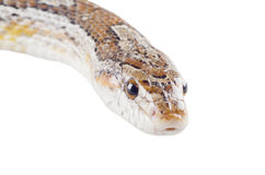 Corn snake. Closeup of a corn snake (isolated on white Stock Images