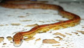Corn Snake. Slithering on table Royalty Free Stock Photography