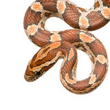 Corn Snake. In front of a white background Royalty Free Stock Images