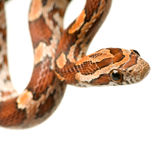 Corn Snake. In front of a white background Royalty Free Stock Photo