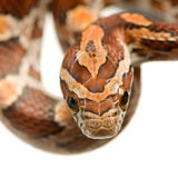 Corn Snake Stock Photography