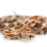 Corn Snake. In front of a white background Stock Photos