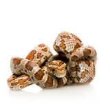 Corn Snake. In front of a white background Stock Photography