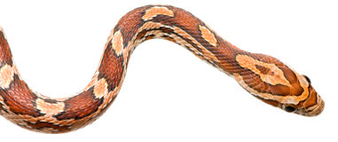 Corn Snake Stock Photos