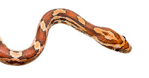 Corn Snake. In front of a white background Royalty Free Stock Photography