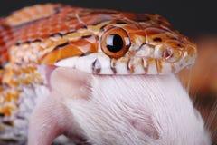 Free Corn Snake Royalty Free Stock Photo - 36936255