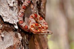 Free Corn Snake Royalty Free Stock Images - 37474349