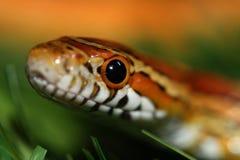Corn snake. A macro of the head of a corn snake Stock Photos